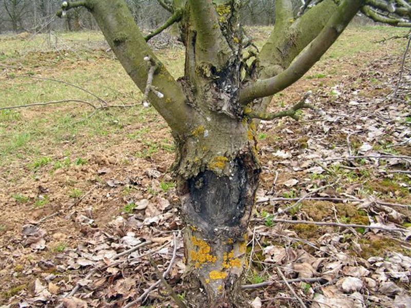 Черный рак у плодовых деревьев