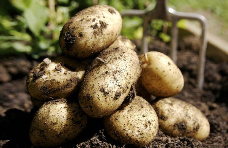 Как вырастить картошку на участке