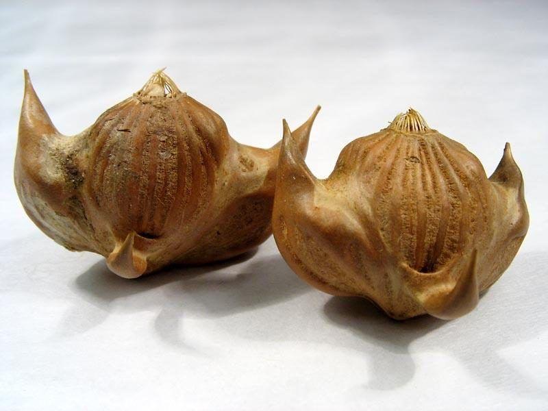 Что за плод диковинка - чилим?