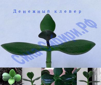 Сила Сибири денежное дерево купить