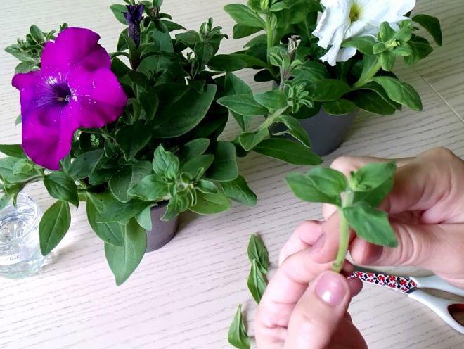 Как правильно вырастить петунью