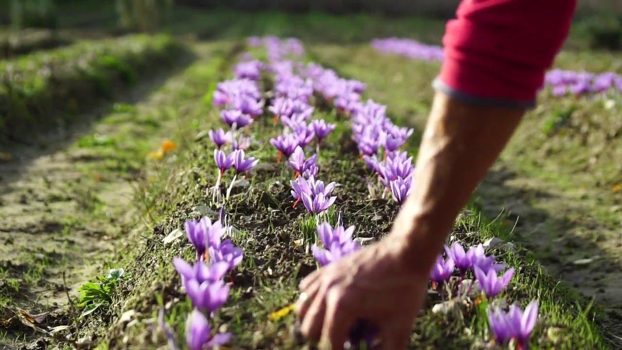 Выращивание крокусов на дачном участке и в домашних условиях